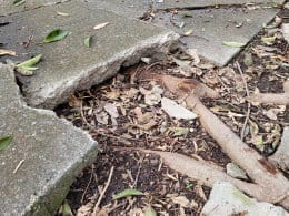 Growth of the roots of a tree planted too close to a garden path causing the concrete slab to crack